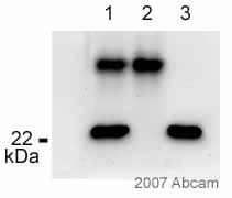 Immunoprecipitation - p23 antibody [JJ3] (ab2814)