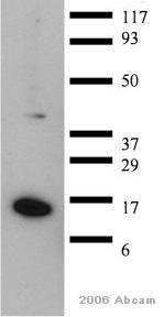 Western blot - CRABP1 antibody [C-1] (ab2816)