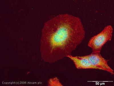 Immunocytochemistry/ Immunofluorescence - KAT13B / AIB1 antibody - ChIP Grade (ab2831)