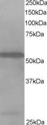 - HIP55 antibody (ab2836)