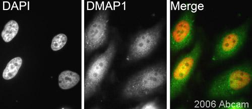 Immunocytochemistry/ Immunofluorescence - DMAP1 antibody (ab2848)