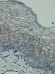 Immunohistochemistry (Frozen sections) - pan alpha Sodium Potassium ATPase antibody [M7-PB-E9] (ab2871)
