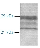 Western blot - Prion protein PrP antibody [7B6 / D2] (ab2882)