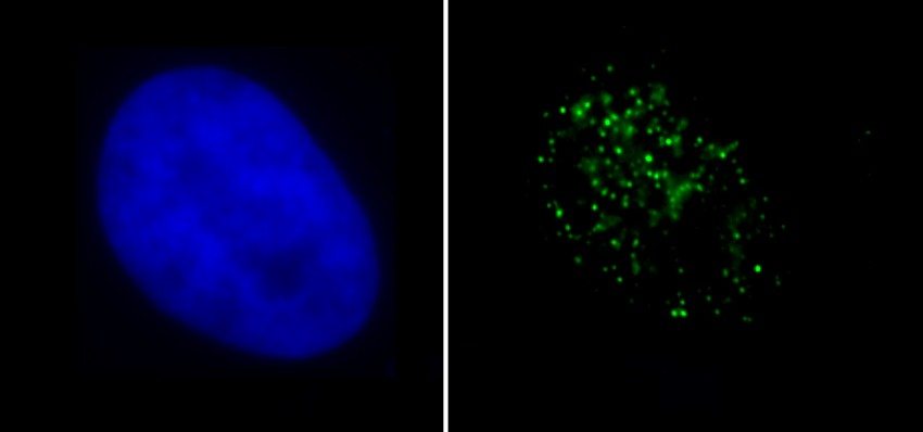 Immunocytochemistry/ Immunofluorescence - Anti-Histone H4 (di methyl K79) antibody (ab2885)