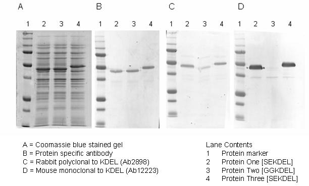 Western blot - KDEL antibody - ER Marker (ab2898)