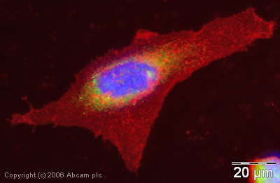 Immunocytochemistry/ Immunofluorescence - EEA1 antibody - Early Endosome Marker (ab2900)