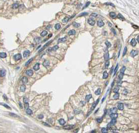 Immunohistochemistry (Paraffin-embedded sections) - EEA1 antibody - Early Endosome Marker (ab2900)