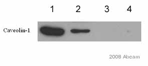 Immunoprecipitation - Caveolin 1 antibody - Caveolae Marker (ab2910)