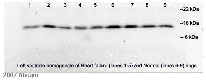 Western blot - FKBP12 antibody (ab2918)