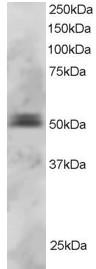 Western blot - PAX5 antibody (ab2935)