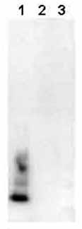 Western blot - beta Amyloid 1-40 antibody [BDI350] (ab20068)