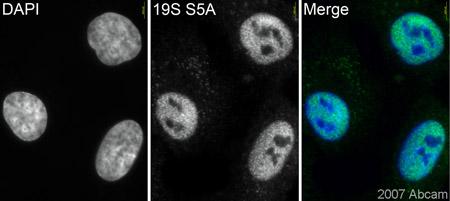 Immunocytochemistry/ Immunofluorescence - Proteasome 19S S5A antibody [AH1.1] (ab20239)