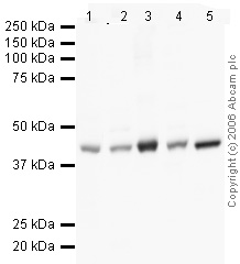 Western blot - beta Actin antibody [mAbcam 8226] - Loading Control (ab20272)