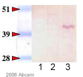 Western blot - G protein alpha Inhibitor 2 antibody (ab20392)