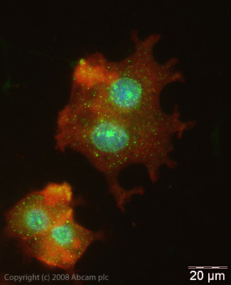 Immunocytochemistry/ Immunofluorescence - HIF2 alpha antibody (ab20654)
