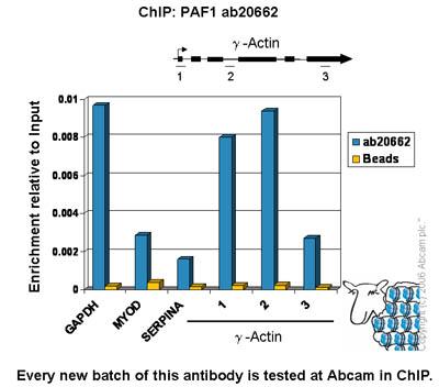 ChIP - PAF1 antibody (ab20662)