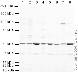 Western blot - MiTF antibody (ab20663)