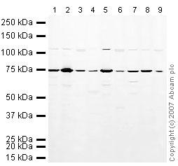 Western blot - PABP antibody (ab21060)