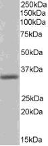 Western blot - Pirin antibody (ab21202)