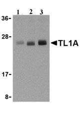 Western blot - TL1A antibody (ab21272)