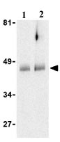 Western blot - HtrA2 / Omi antibody (ab21307)
