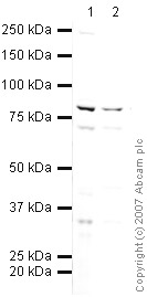 Western blot - Pot1 antibody (ab21382)