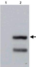Western blot - LY108 antibody (ab21615)