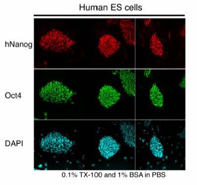 Immunofluorescence - Nanog antibody - Embryonic Stem Cell Marker (ab21624)