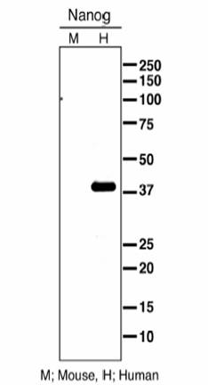 Western blot - Nanog antibody - Embryonic Stem Cell Marker (ab21624)