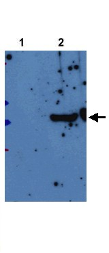 Western blot - LRPPRC antibody (ab21864)