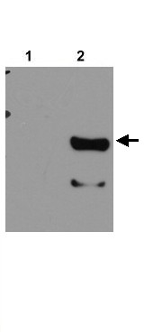 Thin Layer Chromatography - RPT2 antibody (ab21882)