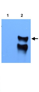 Western blot - STARS antibody (ab21986)