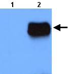 Western blot - RAI150 antibody (ab22030)