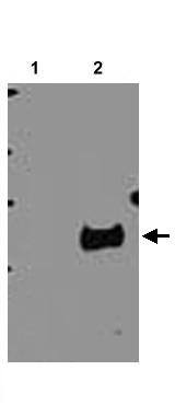 Western blot - OR1D2 antibody (ab22032)