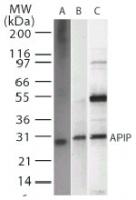 Western blot - APIP antibody [19F461] (ab22060)