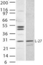 Western blot - IL27 antibody (ab22063)