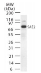 Western blot - SAE2  antibody (ab22104)