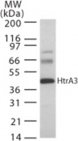 Western blot - HtrA 1 + 2 + 3 + 4 antibody (ab22112)