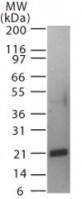 Western blot - RANKL antibody (ab22113)