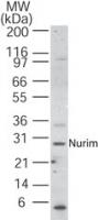 Western blot - Nurim antibody (ab22151)
