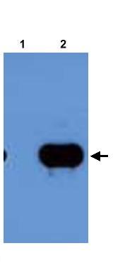 Western blot - RovA antibody (ab22189)
