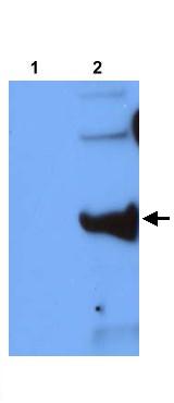 Western blot - Pb12 antibody (ab22194)