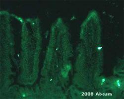 Immunocytochemistry/ Immunofluorescence - GLP1 antibody (ab22625)