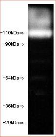 Western blot - Rpn2 antibody [112-1] (ab22649)