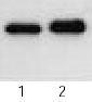 Western blot - Tau antibody (ab22690)