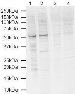 Western blot - NORE1 antibody (ab22770)