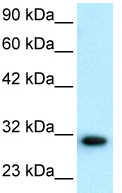 Western blot - D Box Binding Protein antibody - BSA and Azide free (ab22824)