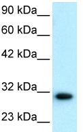 Western blot - D Box Binding Protein antibody - BSA and Azide free (ab22824)