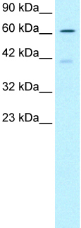 Western blot - NCOA62 antibody (ab23341)