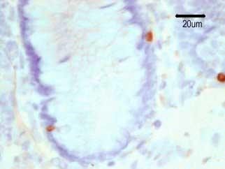 Immunohistochemistry (Frozen sections) - GLP1 antibody [HYB 011-05] (ab23447)